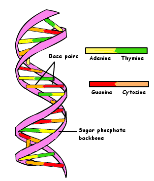 dna basic structure and function pdf simple