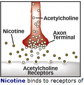 http://www.zinoproject.com/b2evolution2/media/blogs/blog43/nicotine%20tobacco%20acetylcholine.PNG?mtime=1415814559